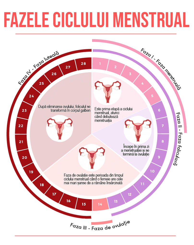 Fazele ciclului menstrual
